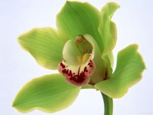 Hermosa orquídea verde