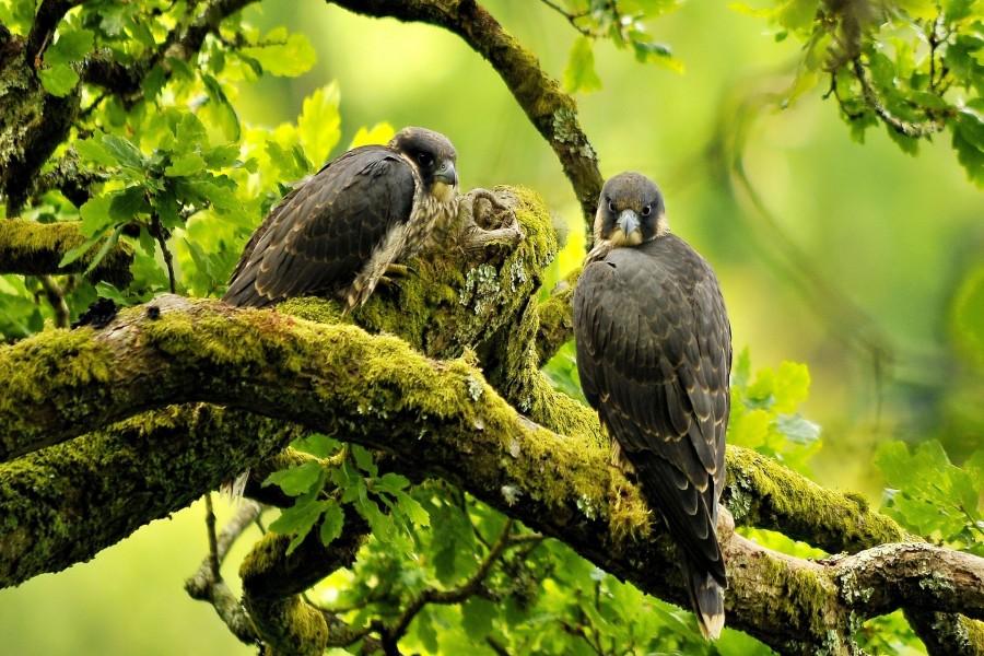 Dos halcones en un árbol
