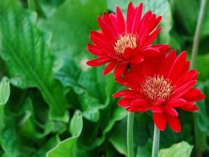 Gerberas rojas sobre un fondo de hojas verdes