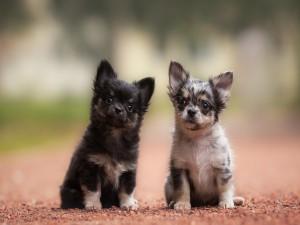 Dos lindos perritos chihuahua