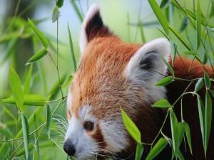 Panda rojo entre las hojas