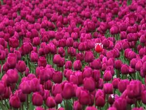 Tulipán destacando en un campo de tulipanes fucsias