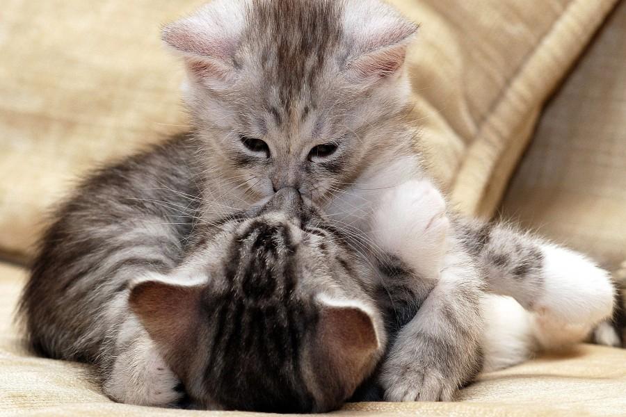 Gatitos dándose un beso