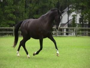 Bonito caballo negro trotando en la hierba