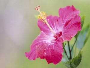 Un hermoso hibisco rosa