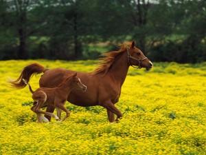Yegua junto a su potro trotando en un campo de flores