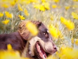 Perro descansando sobre flores amarillas