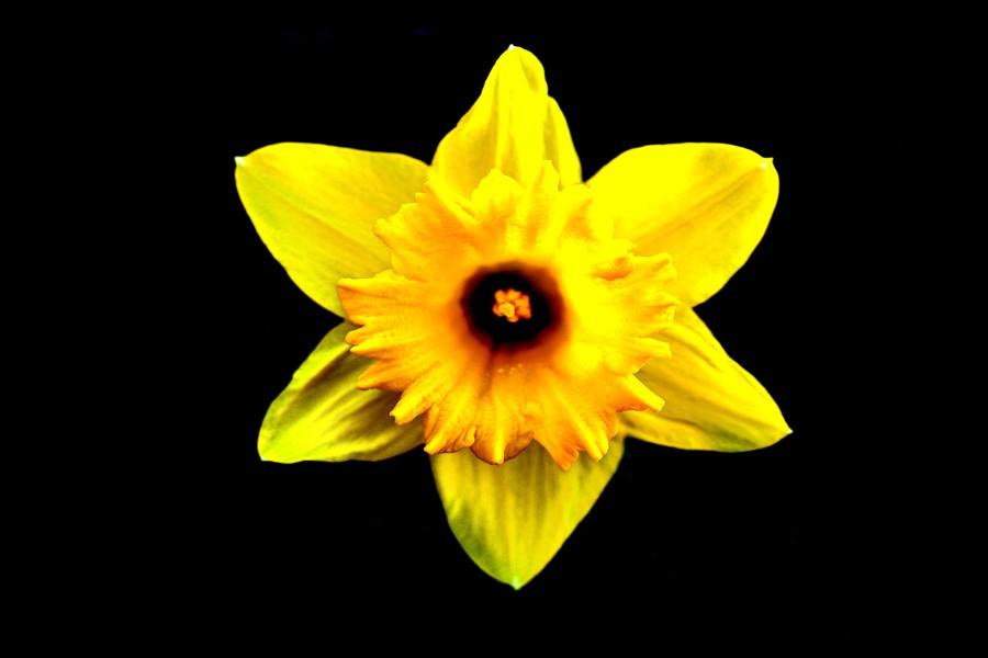 Flor amarilla en fondo negro
