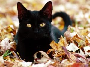 Un hermoso gato negro sobre hojas otoñales