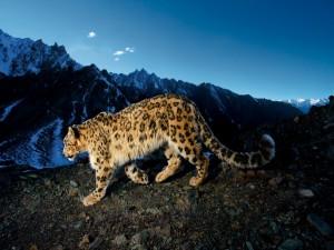 Leopardo de las nieves caminando por la montaña