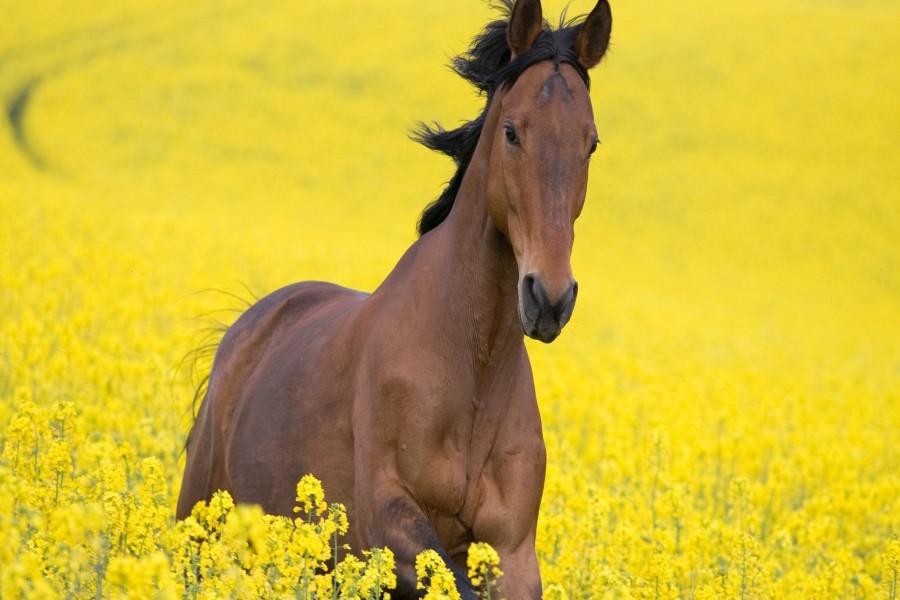Caballo entre flores amarillas