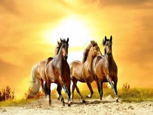 Caballos marrones cabalgando