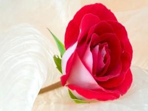 Una linda rosa