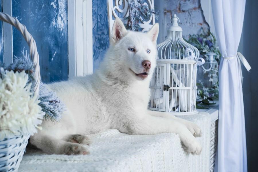 Husky blanco junto a la ventana