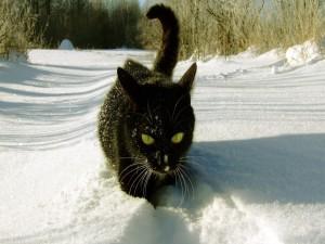 Hermoso gato negro caminando por la nieve
