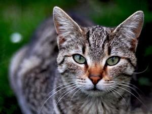 La mirada misteriosa de un gato gris