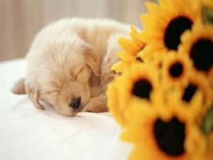 Cachorro dormido junto a unos girasoles