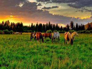 Caballos en el campo al amanecer