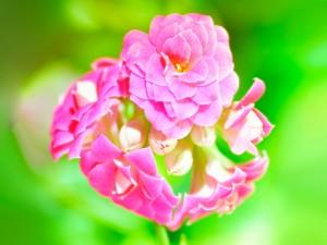 Lindas flores de color rosa