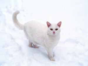 Un gato blanco sobre la nieve