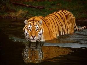 Tigre dándose un baño