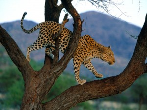 Leopardo caminando sobre un árbol