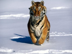 Tigre corriendo sobre la nieve