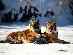 Dos tigres descansando en la nieve