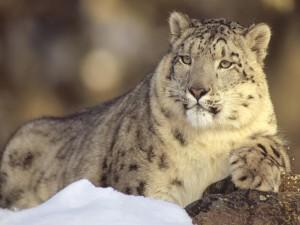 Un bonito leopardo de las nieves