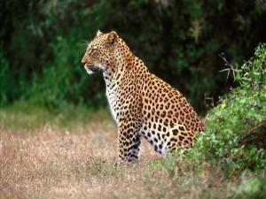 Leopardo observando el territorio