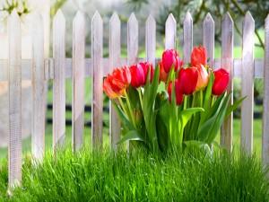 Tulipanes en el jardín junto a una cerca