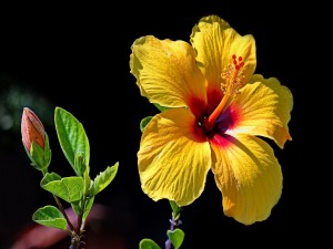 Hermoso hibisco amarillo