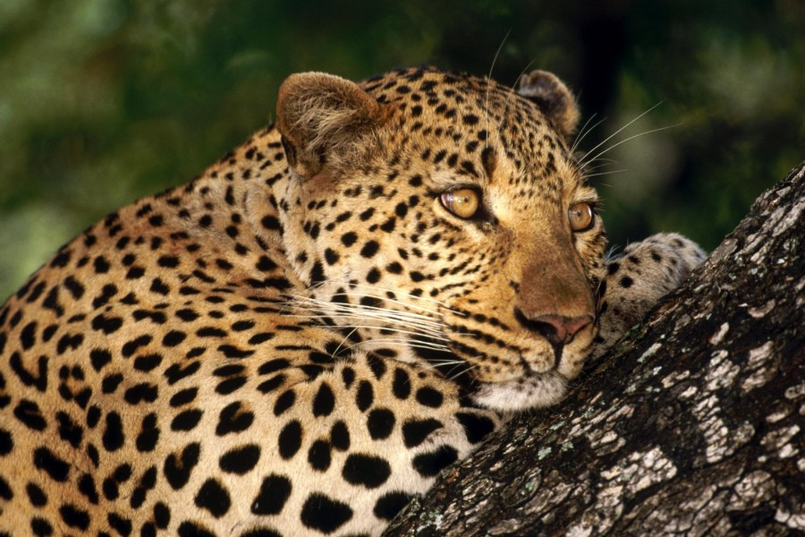 Leopardo sobre un tronco