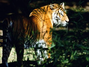 Tigre caminando entre la maleza