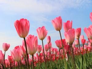 Plantación de tulipanes rosas
