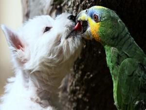 Guacamayo mordiendo la lengua de un terrier