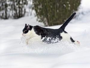 Gato corriendo por la nieve