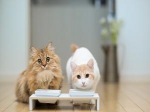 Dos gatos tomando leche