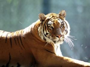 La mirada de un bonito tigre