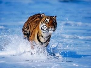 Tigre corriendo sobre la espuma del mar
