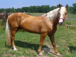Un lustroso caballo
