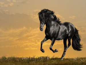 Un hermoso caballo negro