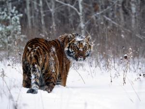 Nieve sobre un tigre