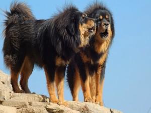 Dos Mastín tibetano sobre unas rocas