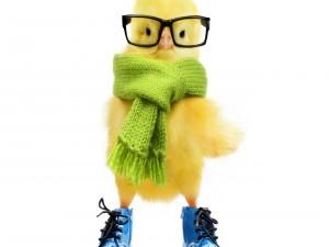 Pollo con zapatos, bufanda y gafas