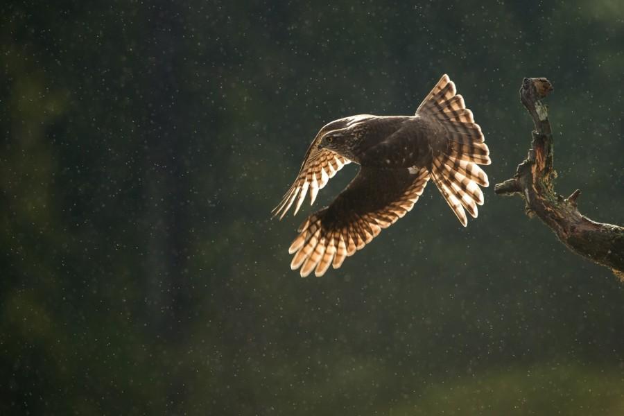 Halcón volando bajo la lluvia
