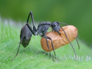 Hormiga transportando comida