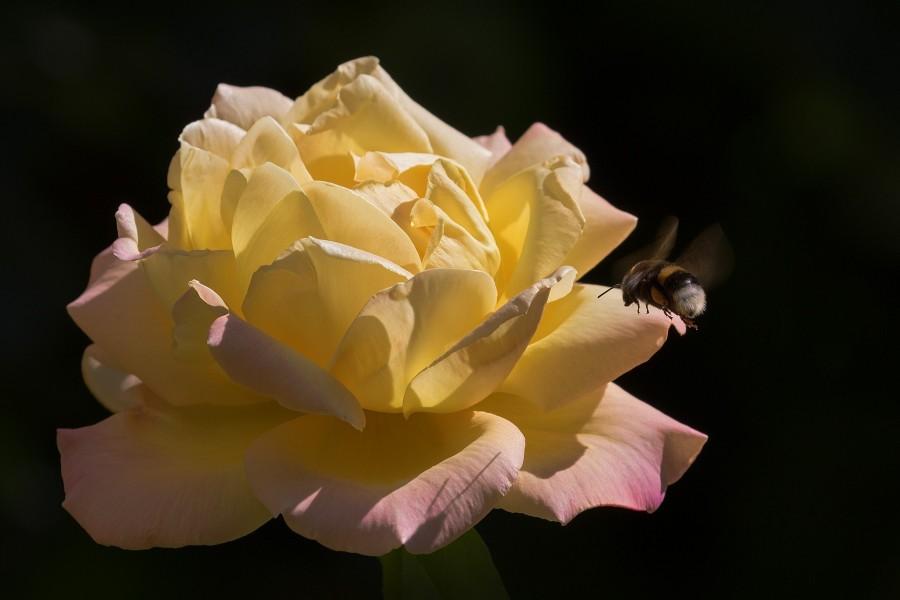 Abeja volando hacia una rosa amarilla