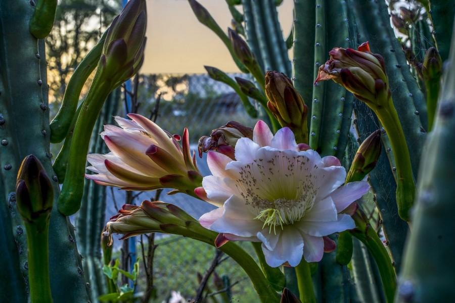 Resplandecientes flores en el cactus