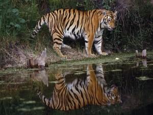 Tigre reflejado en el agua
